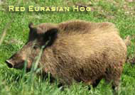 Red Eurasian Hog